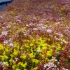 Green roof after flowering